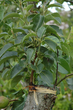 greffer des arbres fruitiers sur mesure cultiver et nourrir. Black Bedroom Furniture Sets. Home Design Ideas