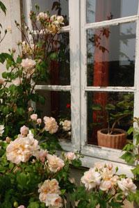 rose-desprez-double-fenêtre