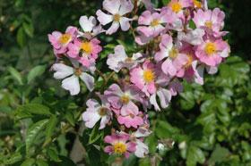 rosier-adenocheata-pbeucher
