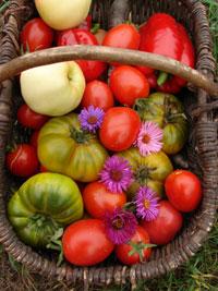 tomates-toujours-verte,-coe