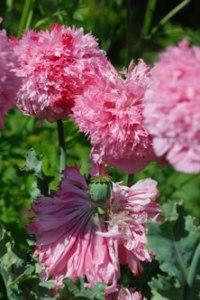 pavot-double-rose-pbeucher-